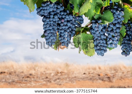 Large bunches of ripe red wine grapes hang from vine with warm field background. - stock photo
