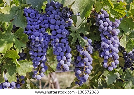 Large bunches of ripe red wine grapes hanging on the vine - stock photo
