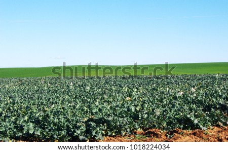 Large cabbage field at south of Portugal