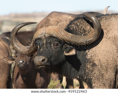 Large Cape Buffalo bull with huge horns
