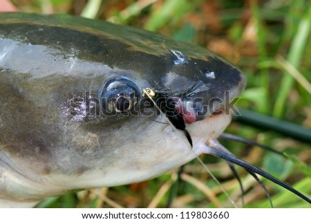 Large catfish caught fly fishing - close up of a fish, hook and fly after being caught - stock photo