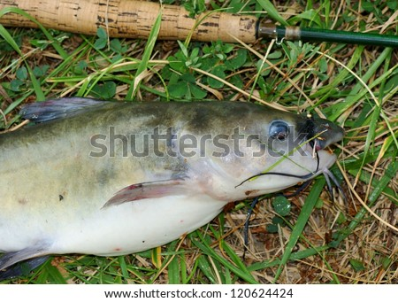 Large catfish caught fly fishing - fish, rod and fly (lure) - stock photo