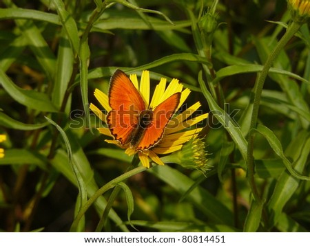 Large copper butterfly Lycaena dispar and yellow flower, Vercors mountain massif, France