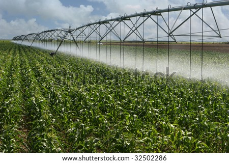 Large corn field where the irrigation system saves water by approaching the sprinkler as near as possible to the plants.