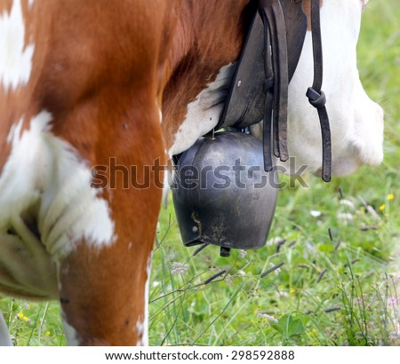 large cow Bell cow in cattle breeding - stock photo