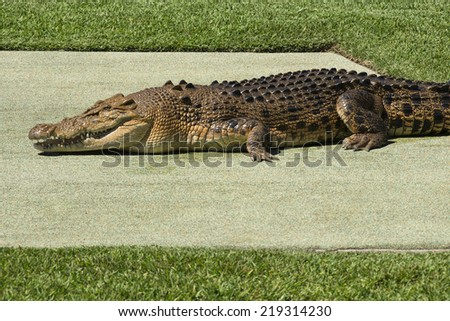Large crocodile by itself during the day. - stock photo