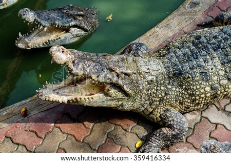 Large Crocodile lying and open It's mouth in farm. - stock photo