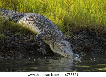 Large crocodile slips into the river - stock photo