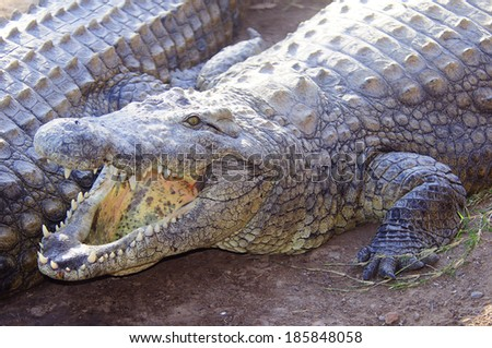 Large Crocodile with open mouth
