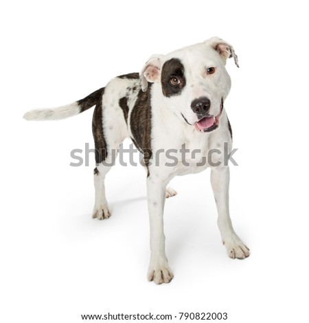 Large crossbreeed dog with white fur and brindle black and brown markings and happy smiling expression