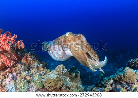 Large Cuttlefish on a coral reef - stock photo
