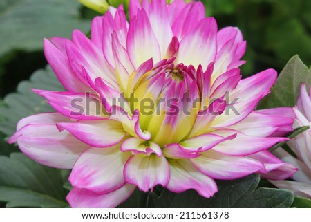 Large dahlias flowers - stock photo