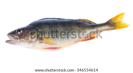 large dark perch isolated on white background - stock photo