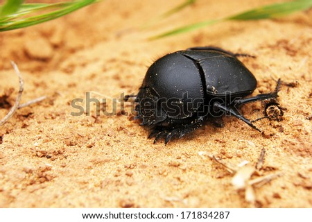 Large dark scarab on sand