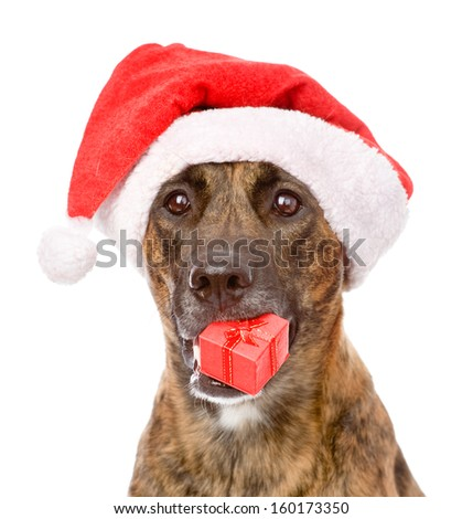 Large dog in red christmas Santa hat with gift box. isolated on white background