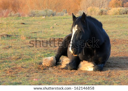 Large draft horse laying in a field, Utah, USA. - stock photo