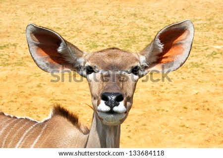Large Ears of the Greater Kudu - stock photo