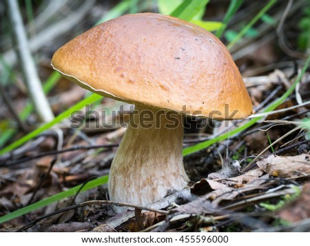 Large edible mushroom in the forest on the edge. Boletus edulis.