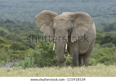 Large elephant eating green grass with ears wide - stock photo