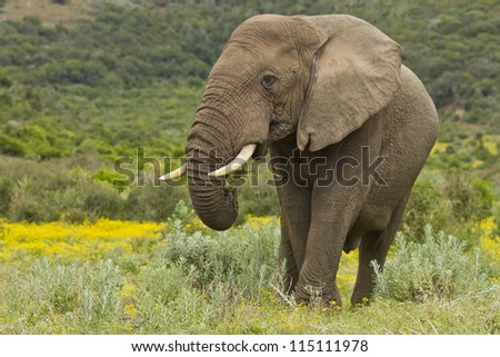 Large elephant eating with yellow flowers in the background - stock photo