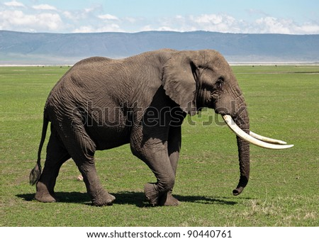 Large elephant in Crater Ngorongoro National Park  - Tanzania - stock photo