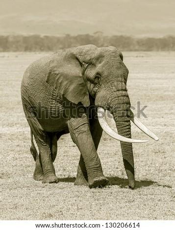 Large elephant male in Crater Ngorongoro National Park - Tanzania, Africa (stylized retro) - stock photo