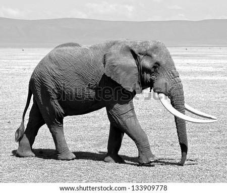 Large elephant male in Crater Ngorongoro National Park - Tanzania (black and white) - stock photo