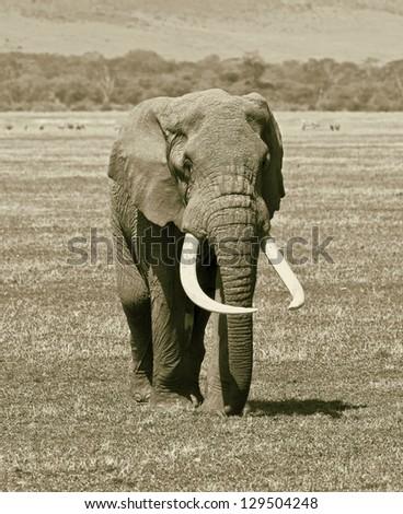 Large elephant male in Crater Ngorongoro National Park - Tanzania, East Africa(stylized retro) - stock photo