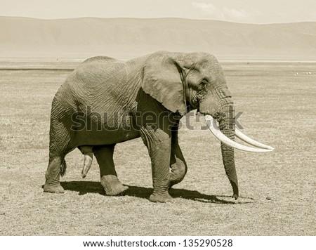 Large elephant male in Crater Ngorongoro National Park - Tanzania, Eastern Africa (stylized retro) - stock photo