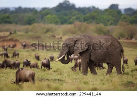 Large elephants walking through a heard of wildebeest - stock photo