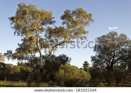 Large Eucalyptus Trees - stock photo