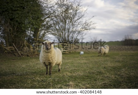 Large Ewe. Sheep in Cotswolds Landscape. UK.