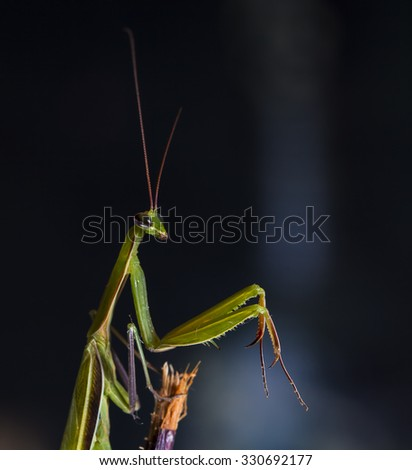 large female of the mantis