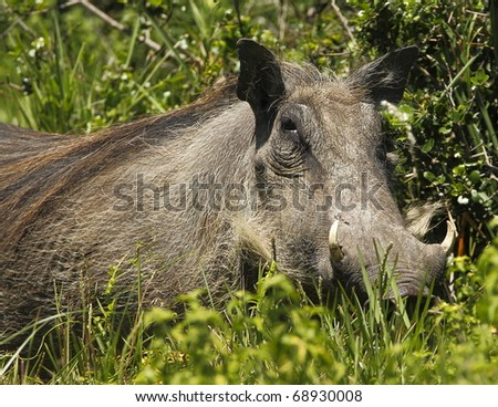 Large female warthog standing and looking before moving off - stock photo