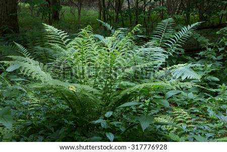 Large fern bunch in summertime shady deciduous stand of Bialowieza Forest,Bialowieza Forest,Poland,Europe