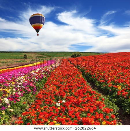 Large field of colorful buttercups. Spring windy day on the farm. In the sky flying scenic balloons - stock photo