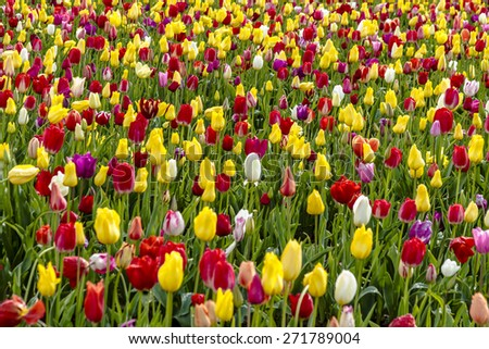 Large field of multi-colored tulips blooming on tulip bulb farm - stock photo