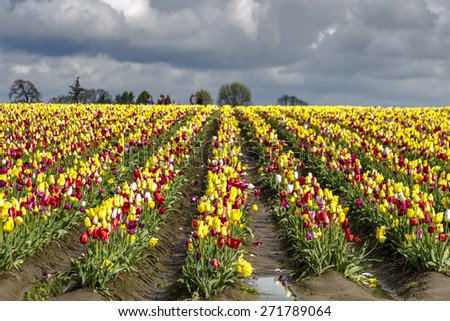 Large field of rows of multi-colored tulips blooming on tulip bulb farm