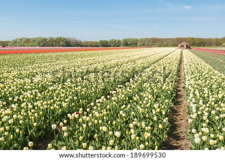 Large field of white blooming Tulip bulbs of a Dutch bulb grower.