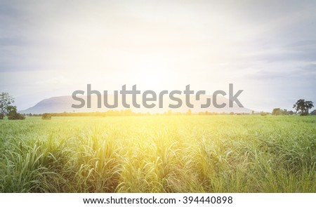 Large fields of sugar cane, Sugarcane production in the sugar industry. - stock photo