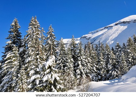large firs in the mountain in winter