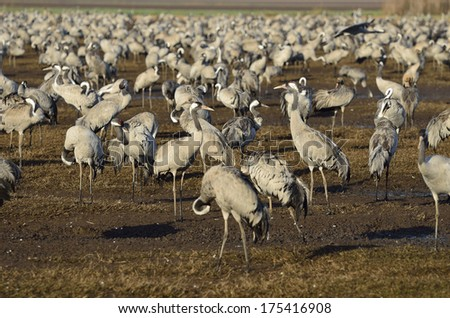 large flock of Common Crane  in The Agamon Hula Tourism Park bird-watching sites and observe migrating courting and nesting birds - stock photo