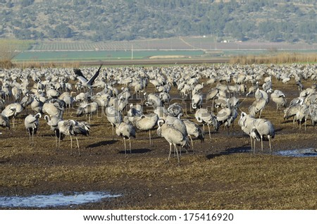 large flock of Common Crane The Agamon Hula Tourism Park bird-watching sites and observe migrating courting and nesting birds - stock photo