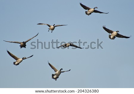 Large Flock of Geese Flying in Blue Sky - stock photo