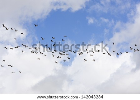 Large flock of Magpie Geese flying in Queensland, Australia