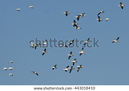 Large Flock of Snow Geese Flying in a Blue Sky