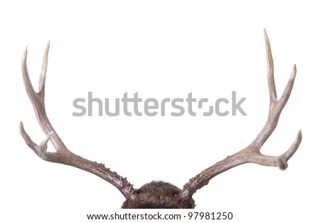 Large four point mule deer antlers isolated on white background - stock photo