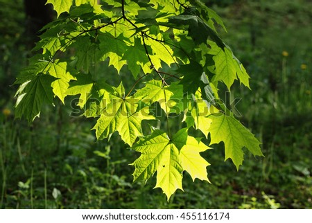 Large fresh green maple leaves backlit