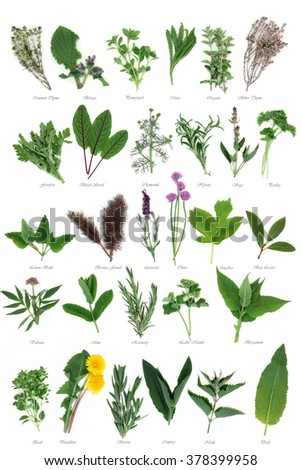 Large fresh herb selection used for culinary and alternative herbal medicine over white background with titles. - stock photo