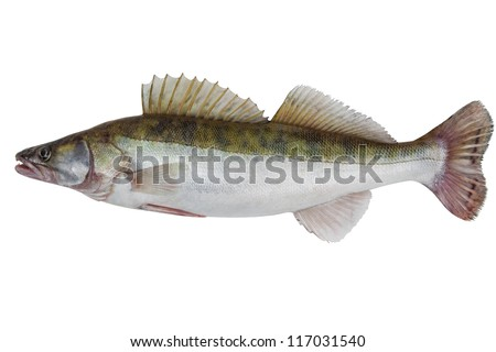 Large fresh pike perch isolated on a white background - stock photo